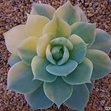블루에뜨금0509-3533|Echeveria peacockckii bluete