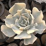 릴리시나금 컷팅|Echeveria lilacina