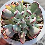 원종방울복랑금 2 Cotyledon orbiculata cv variegated