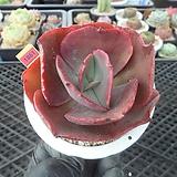 빅레드hy5-1861|Echeveria Big Red