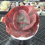 빅레드hy5-1860|Echeveria Big Red