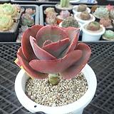 빅레드hy5-1859|Echeveria Big Red