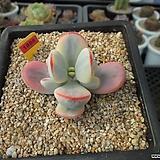 방울복랑금(수박금)분채배송5-1888|Cotyledon orbiculata cv variegated