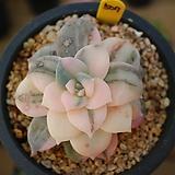 펜다드럼금507|Graptopetalum pentandrum superbum