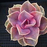 웨스트레인보우금 116|Echeveria rainbow