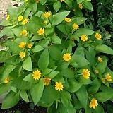 멜람포디움 잭팟골드 꽃 모종 10cm화분묘 꽃말 꽃집 반려식물 야생화  