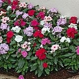 일일초 퍼시피카 혼합 꽃 모종 10cm화분묘 꽃말 꽃집 반려식물 야생화  