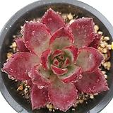 레드플럼 Echeveria Red Plum