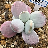 방울복랑금5471|Cotyledon orbiculata cv variegated