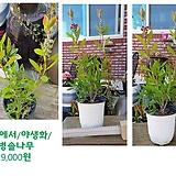 뜰안에서/야생화/병솔나무 