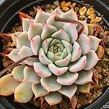 핑크자라고사50644|Echeveria mexensis Zaragosa