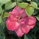 찔레장미 투폴리나로즈(Topolina rose) 포트 / 찔레장미 / 찔레꽃 / 수입찔레 / 유럽찔레 / 꽃나무 / 