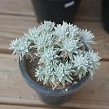 화이트그리니 자연 0509-33|Dudleya White greenii