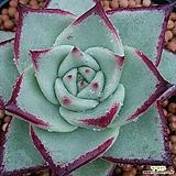 환엽원종에보니슈퍼클론 수입들어온원종입니다  사이즈좋고잘생겼어요  0557 산아래다육이|Echeveria Superclone