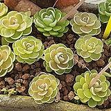 벌레잡이 제비꽃 에셀리아나 촉당 