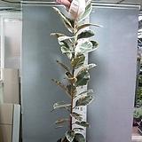 무지개고무나무2번-수채화-루비교잡-높이200센티-동일품배송|