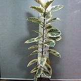 수채화고무나무1번-특대주-높이 160센티-동일품배송|