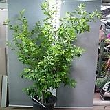 함소화 대품6번-초령목-향기죽음-나무중 가장좋은향기-동일품배송 수량요청|