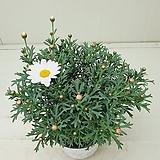 목마가렛 흰꽃 Echeveria halbingeri