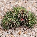 롱기시마철화 9|Echeveria longissima