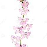 노지월동 되는 분홍 제비꼬깔 중품 
