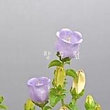 그리스 초롱꽃 