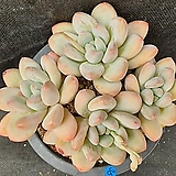 [슈]536. 후레뉴|Pachyphytum cv Frevel