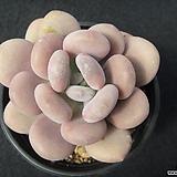 월미인 0511|Pachyphytum oviferum Tsukibijin
