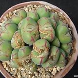 차우바니에 0511|Conophytum Chowbanier