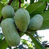 포포나무 대품 - 정원수 조경수 유실 열매 나무 묘목 