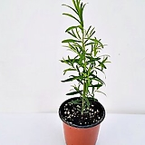 티트리나무(소품)