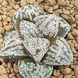 총원 픽타 실생|Haworthia picta