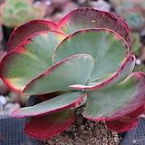 당인금5-415 Kalanchoe thysifolia