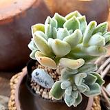 Echeveria setosa Hybrid