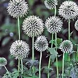 노지월동 되는 신품종 흰색꽃 절구대 중품