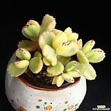 Cotyledon tomentosa f. variegata