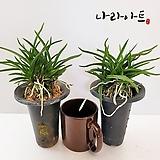 소엽란(중,대품)1+1/난/풍란/난키우기/식물/꽃/모종/난화분/나라아트