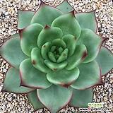 그레타가르보 자구 - 주성농원 (Echeveria agavoides Greta Garbo, offset)