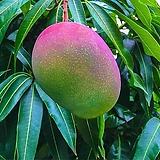 자가수정 애플망고트리 하이브리드 화분상품/결실주 왜성 망고나무 외목수형/화분재배 최적화|Echeveria Eve