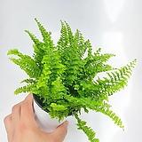 보스톤고사리 보스턴고사리 고사리 양치식물 공기정화식물 한빛농원 뉴보스톤