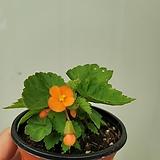 오렌지샤워베고니아60