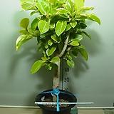 뱅갈고무나무 대품4번 벵갈고무나무-높이100센치-공기정화최고-동일품배송