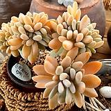 Cremneria Expatriata f cristata