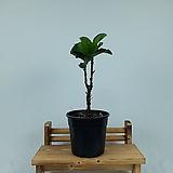 떡갈 잎 고무나무 외목대 15cm 포트|