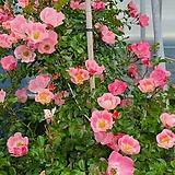 알비프로스.헤만투스.털군자란.밍크붓꽃(흰색꽃)꽃대.
