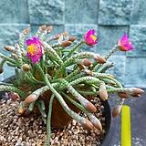 알스토니 특이종( 보통의품종보다2배굵은줄기 비교사진) Avonia quinaria ssp Alstonii