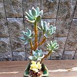 아름다운 이미인금 목대군생 Pachyphytum oviferum mikadukibijin