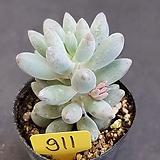 베이비핑거0615-911|Pachyphytum Machucae(baby finger)