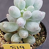 베이비핑거0615-519|Pachyphytum Machucae(baby finger)