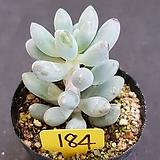 베이비핑거0615-184|Pachyphytum Machucae(baby finger)